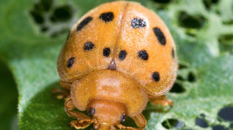 Effective Bean Beetle Control is Essential on your Farm