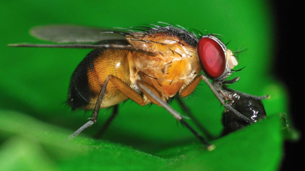 Get Into Gear With Spotted Wing Drosophila Control On Your Farm