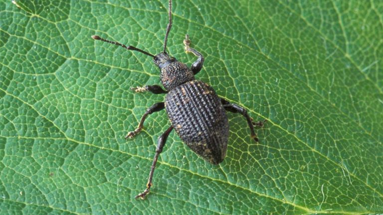 The Essentials of Black Vine Weevil Control On The Farm